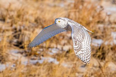 20201223-Snowy  Owls 12-23-20850_7218