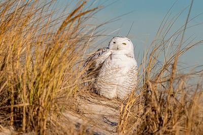 20201223-Snowy  Owls 12-23-20850_7126