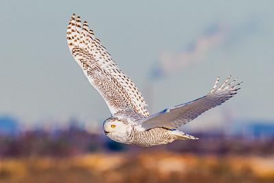 20201223-Snowy  Owls 12-23-20850_7236
