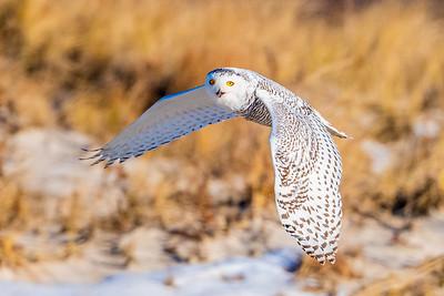 20201223-Snowy  Owls 12-23-20850_7221