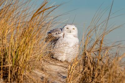 20201223-Snowy  Owls 12-23-20850_7129