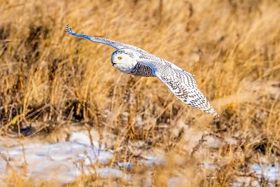 20201223-Snowy  Owls 12-23-20850_7208