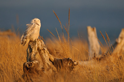 Snowy Owl at Sunset, Washington Coast