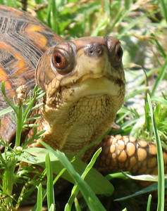 Box turtle - the shots where she's eating worms are too gross to put up.  Really.
