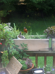 Robin Reunion.   Do you think they recognize each other?  By sight, or by sound?  At any rate, I no longer have a baby robin to feed dozens of worms each day, and I'm more than a little relieved.  And I'm going to use the excuse that this was shot through a dirty window ...