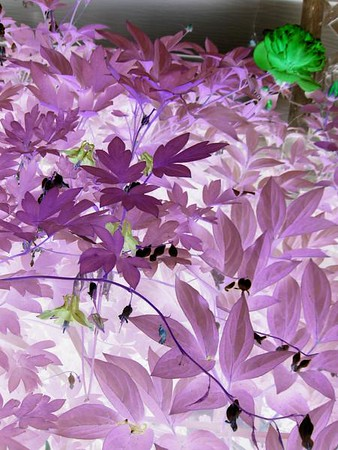 Negative effect on shot of columbines and bleeding hearts in the garden.  Original color shot here:  http://www.dvs.smugmug.com/gallery/4934083_ibNQw/1/310856937_M7e8R#310856937_M7e8R-A-LB