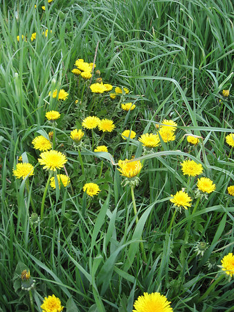 A river of dandelions.  I had a Maine Coon once, named Dandelion. Fierce cat.  Originally named Tasmanian Devil, I renamed him as an unknowing 10 year old thinking he was cuddly and sweet.