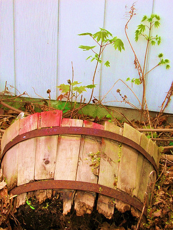 Baby maples growing near a barrel in a parking lot - no good photos today.  Tried muking around with the color on this (ouch).  I like the way the leaves are silouhetted and vaguely japanese looking like willowware. Some other day...