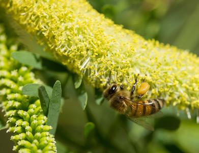 Honeybee on mesquite (?) bloom