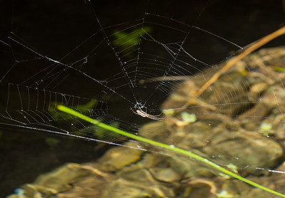 A long-jawed spider (Tegragnathid) waits for prey in its web above a pool in the stream along Borrego Palm Canyon.