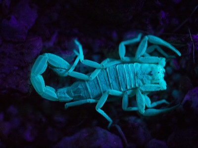 Scorpion at Lizard Wash, photo taken at night by UV fluorescence.