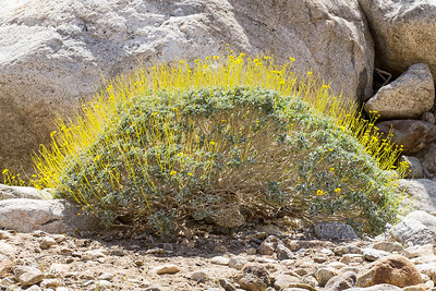 Brittlebush in flower