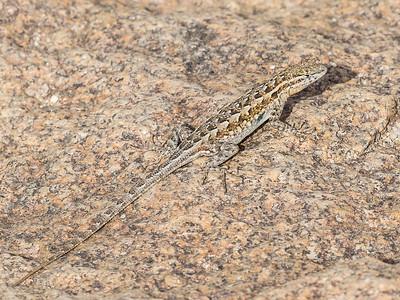 Lizard at Borrego Palm Canyon