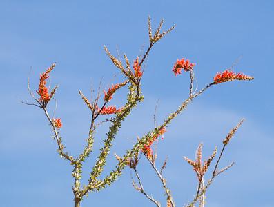 Ocotillo in bloom.