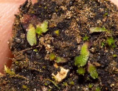 Riccia, a liverwort.   Also notice the cute little cup fungi.