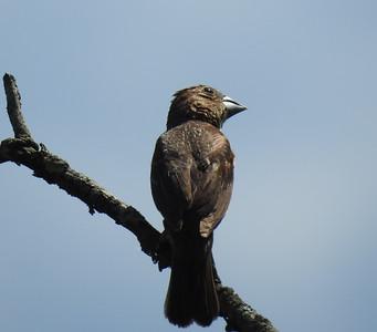 "Blue Grosbeak near the St. Louis Audubon Society pavilion, calling ""chink"" persistently"