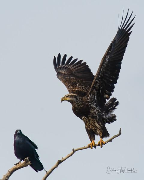 Sub-Adult Bald Eagle and Raven