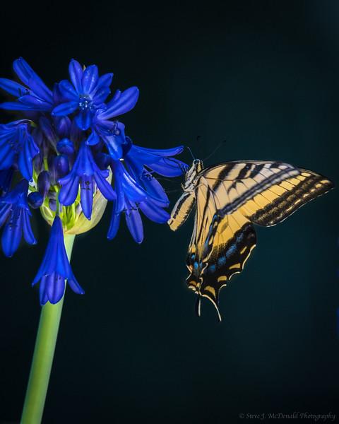 Swallowtail_butterfly-12-2