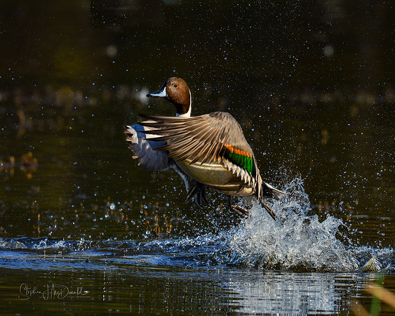 Expld_Pintail_112115-1 Action