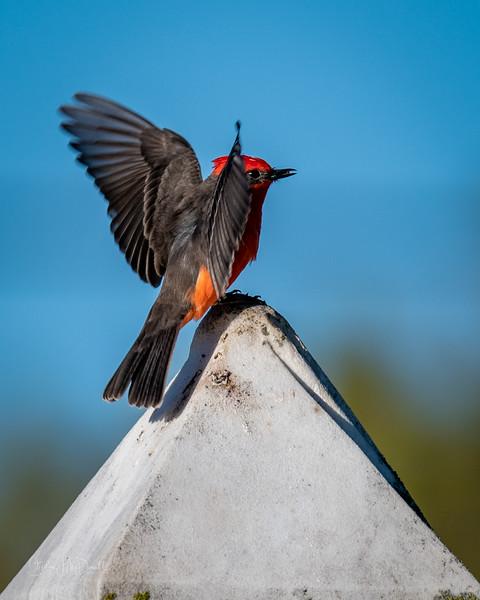 Vermillion Fly-catcher