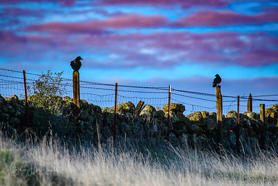 Morning Crows Sutter Buttes
