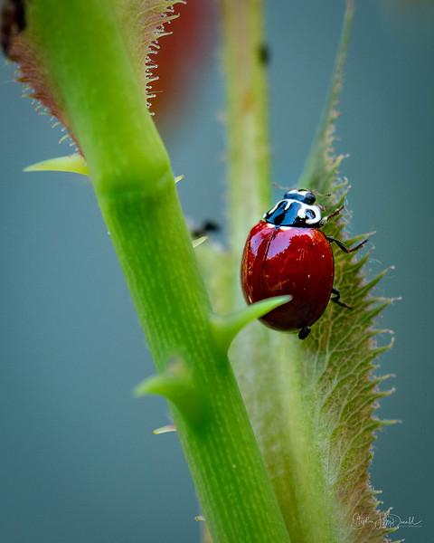 LadyBug_042719-3 Action