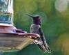 ANNA'S HUMMINGBIRD-PP- copy