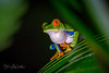 Red-Eyed_Tree_Frog-ck