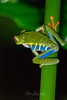 Red-Eyed_Tree_Frog-20x30