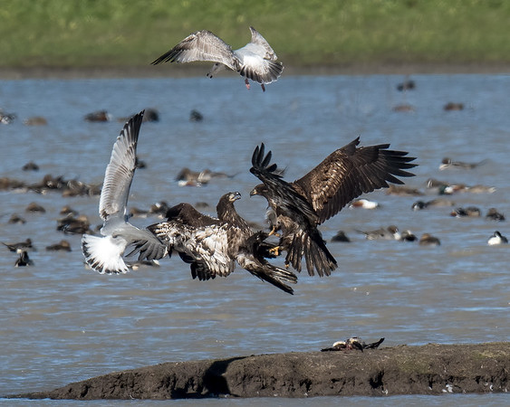 Sub-Adult Bald eagles fighting