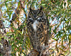 Great Horned Owl 1177