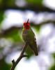 Humming bird 5-6-16