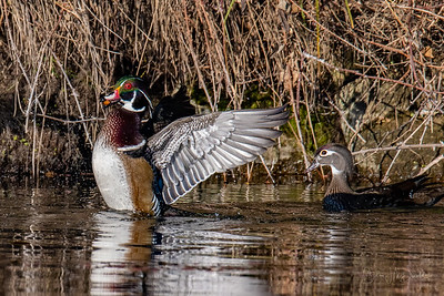 Male Wood Duck with an acorn.