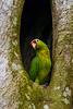 Amazon Green Parrot OIL
