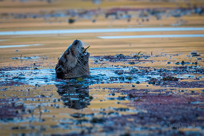 River Otter Eating an aquatic bulb.