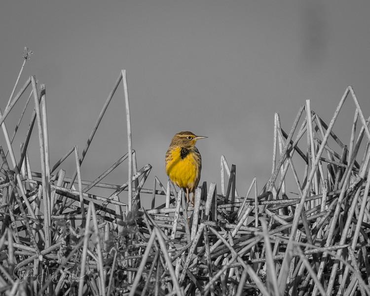 Meadow Lark Selective Color