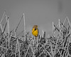 Meadow Lark Selective Color