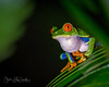 Red-Eyed_Tree_Frog-ck16x20