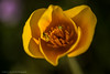 California Golden Poppy