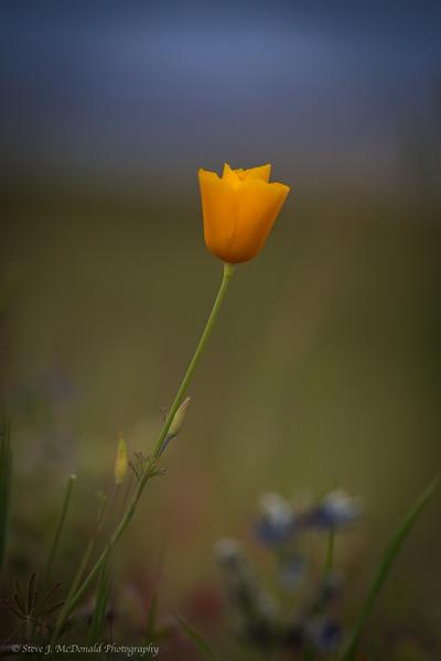 Foothill Poppy