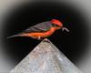 Vermilion Flycatcher (Maxwell Cemetery)