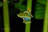 Red-eyed Frog-665-ck