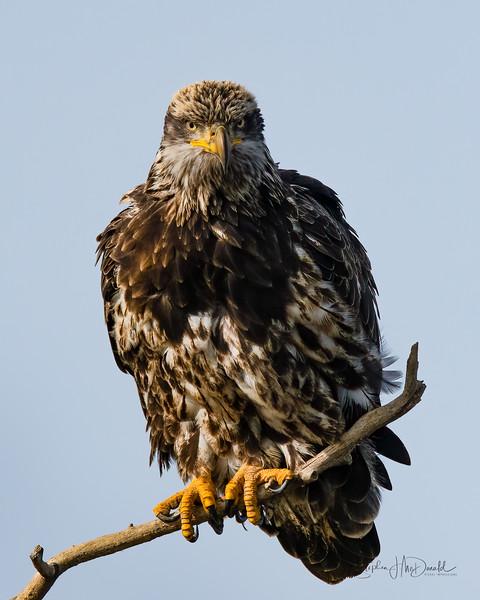 Sub-Adult Bald Eagle