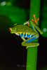 Red-Eyed_Tree_Frog-OIL6
