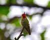 Humming bird 5-6-16 (1)
