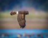 Harrier_misc-1