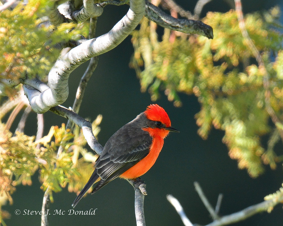 VERMILLION FLYCATCHER-  267012516
