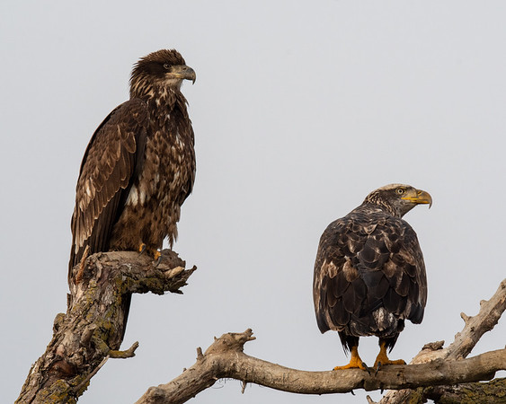1st year (left) and 3rd yr (right) immature Bald Eagles