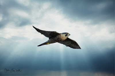 Peregrine Dramatic sky OIL