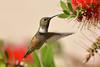 Allen's Hummingbird-15